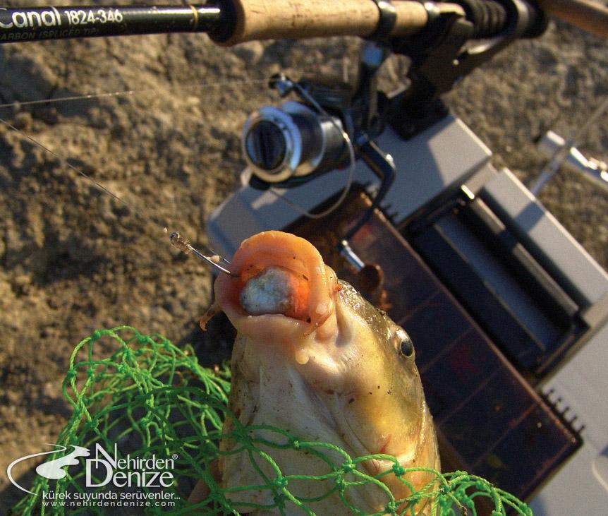 Sazan Oltacılığı | Nehirden Denize blogları